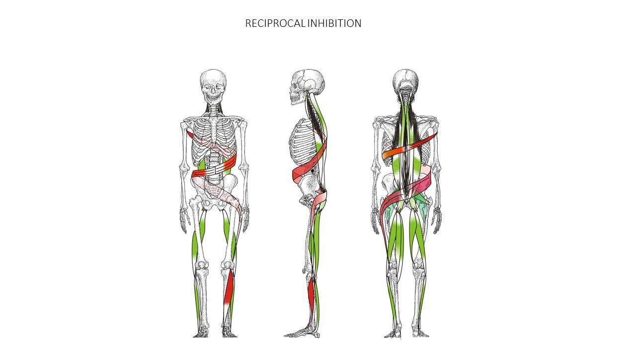 Spiral Stabilization UK   Muscle Chains - Spiral ...